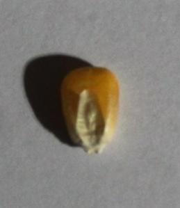 corn_kernel